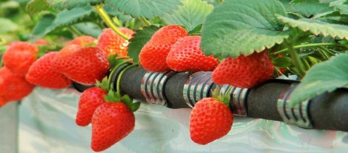 esarrollo microbiológico del suelo en cultivo de fresa